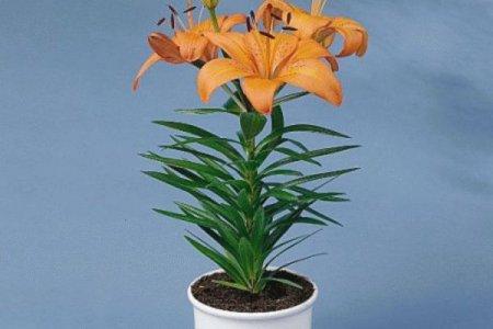 Варто знати! Кімнатні квіти несуть в собі приховану небезпеку для здоров'я