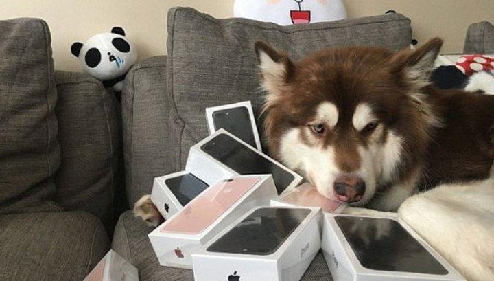 """Собака сына китайского миллиардера стала """"счастливой ...: http://infokava.com/46166-sobaka-syna-kytayskogo-myllyardera-stala-schastlyvoy-obladatelnycey-vosmy-novykh-ayfonov.html"""