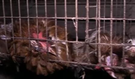 Селу на Херсонщині загрожує екологічна катастрофа через масове вбивство курей